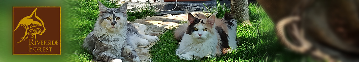 maine coon of riverside forest